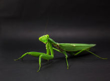 mantis Fotografia de Stock Royalty Free