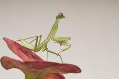 mantis Immagini Stock Libere da Diritti