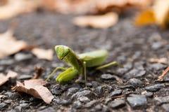 mantis Lizenzfreies Stockbild