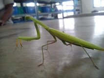 mantis Foto de Stock
