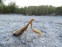 mantis Lizenzfreie Stockfotografie