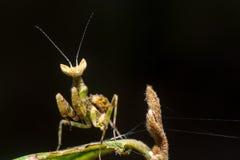 mantis Fotos de Stock
