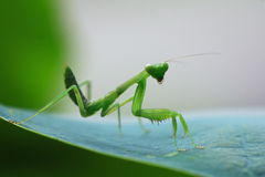 Mantis. A mantis on a leaf Stock Photos