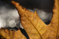 mantis Fotografia Stock
