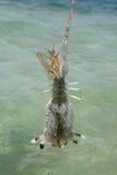 Креветка Mantis Стоковые Фото
