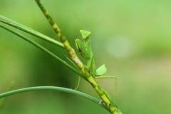 mantis Imagem de Stock