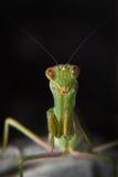 mantis Imagens de Stock