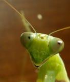 Mantis fotografie stock libere da diritti