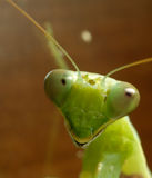 mantis Στοκ φωτογραφίες με δικαίωμα ελεύθερης χρήσης