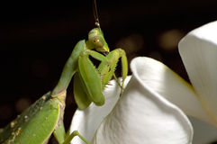 Mantis Photographie stock