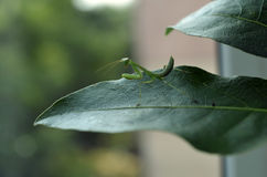 mantis Стоковое Изображение RF