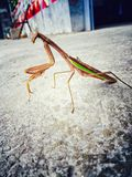 mantis Foto de Stock Royalty Free