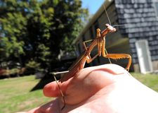 mantis στοκ εικόνες με δικαίωμα ελεύθερης χρήσης