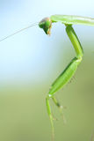mantis Fotografie Stock