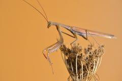 mantis Imagens de Stock Royalty Free