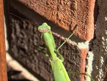 mantis Foto de Stock Royalty Free