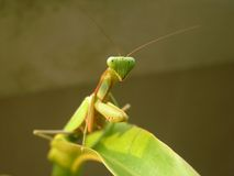 Mantis Immagine Stock