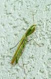 mantis Image stock
