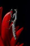 Mantis africain de brindille sur une fleur de corail Photographie stock