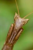 Mantis (aptera de Apteromantis) Foto de Stock