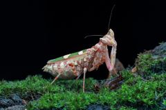 Mantis army in action on black stock photography