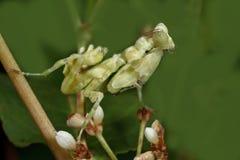 Mantis asiatico del fiore Immagini Stock Libere da Diritti
