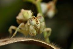Mantis asiatico del fiore Immagini Stock