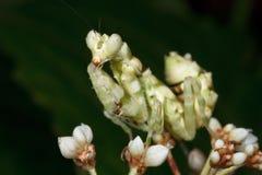 Mantis asiatico del fiore Fotografia Stock Libera da Diritti