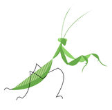 Mantis in an attacking pose Royalty Free Stock Image