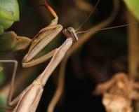 Mantis attaquant Photos libres de droits