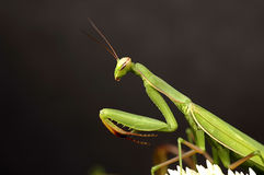 Mantis attaquant Photo libre de droits
