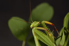 Mantis attaquant 3 Photos libres de droits