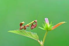 Mantis auf Blatt Stockbilder