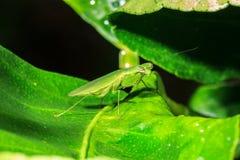 Mantis auf Blatt Lizenzfreies Stockbild