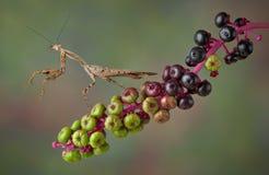 Mantis auf Pokeunkraut Lizenzfreies Stockbild