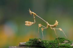 Mantis with beautiful boked background stock photography