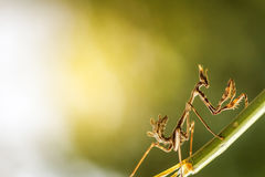 Mantis in beautiful magical background Royalty Free Stock Photography
