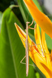 The Mantis Royalty Free Stock Photos
