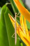The Mantis Royalty Free Stock Photos