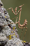 Mantis on branch Royalty Free Stock Photo