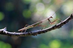 Mantis on branch, insect, macro. Praying mantis walking on branch royalty free stock photos