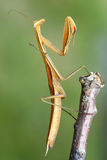 Mantis on branch of tree - macro Stock Photography