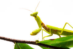 Mantis on branch on white background. Green mantis on green foliage plant. Soothsayer or mantis closeup. Dangerous insect in tropics. Mantodea Religiosa studio Stock Image