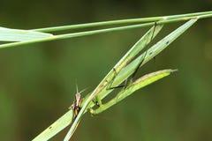 Mantis catch grasshopper Stock Photo