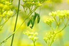 Mantis che tiene ad un inverso del fiore. Immagine Stock Libera da Diritti