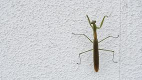 Mantis climbed up on the wall stock video footage
