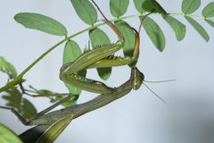 Mantis clinging on seedling Royalty Free Stock Photos
