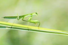 Mantis Stock Photo