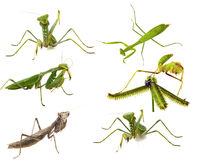Mantis close-up collections macro isolated on whi Royalty Free Stock Image