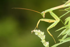 Mantis Stock Photo